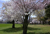 Cherry tress in High Park